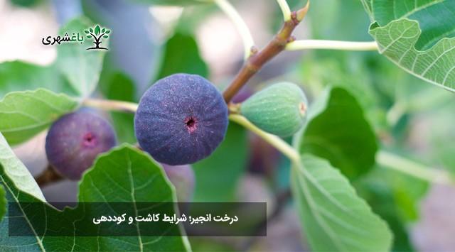 درخت انجیر؛ شرایط کاشت و کوددهی