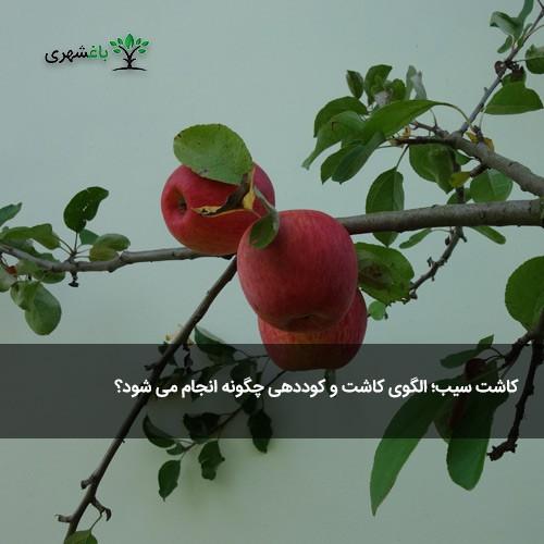 کاشت سیب؛ الگوی کاشت و کوددهی چگونه...