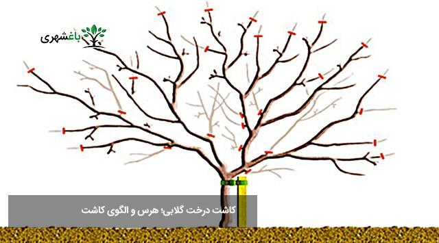 کاشت درخت گلابی؛ هرس و الگوی کاشت