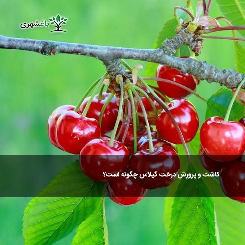 کاشت و پرورش درخت گیلاس چگونه است؟