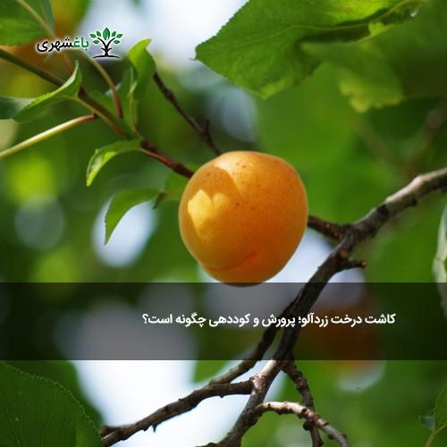 کاشت درخت زردآلو؛ پرورش و کوددهی چگ...
