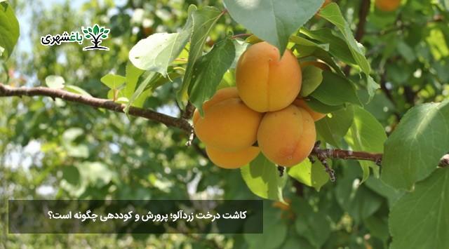 کاشت درخت زردآلو؛ پرورش و کوددهی چگونه است؟